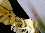 Lach-Skelett